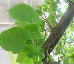Tilia-japonica