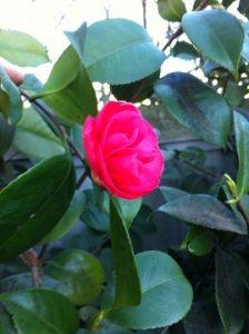Camellia japonicaed