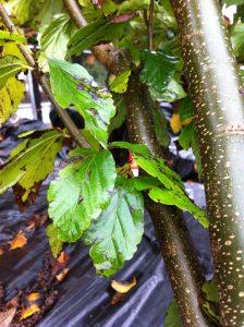 Perottia persica